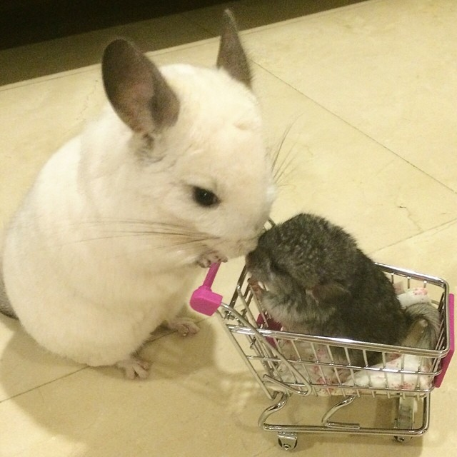 Bubu-The-Chinchilla-004-08022014