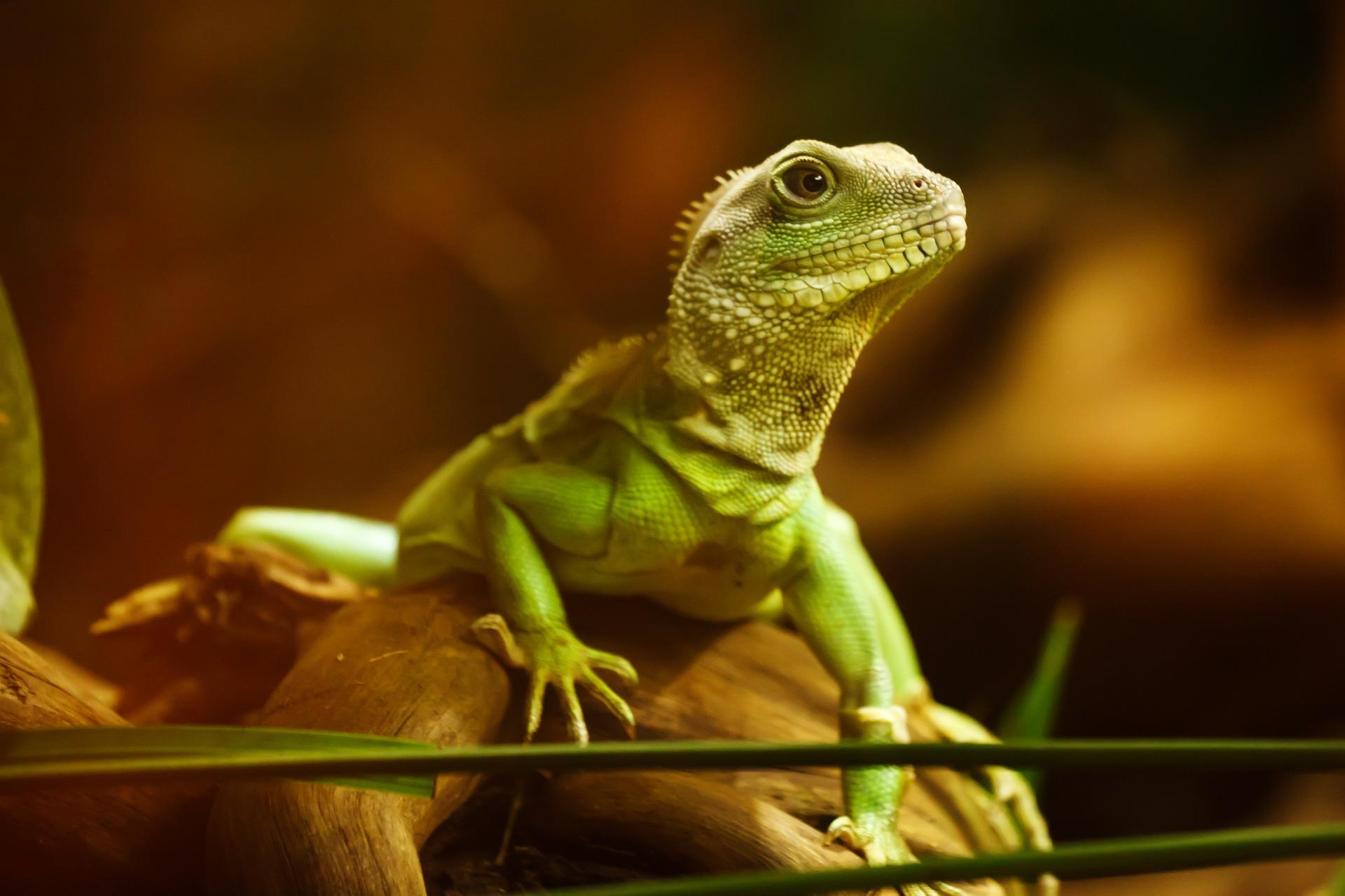 lizard-22258_1920