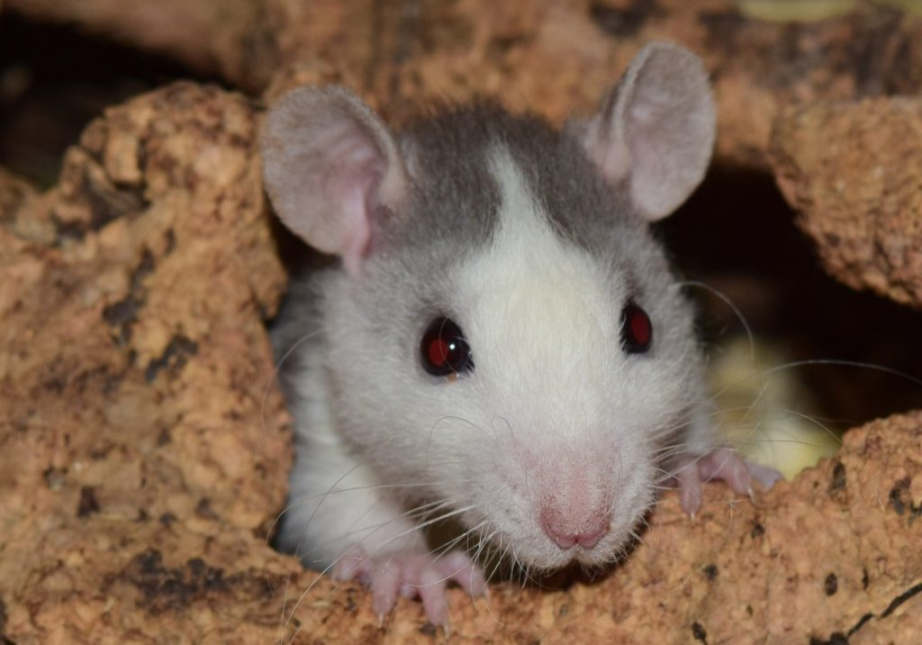 Foods and Treats for Mice, Hamsters and Rats